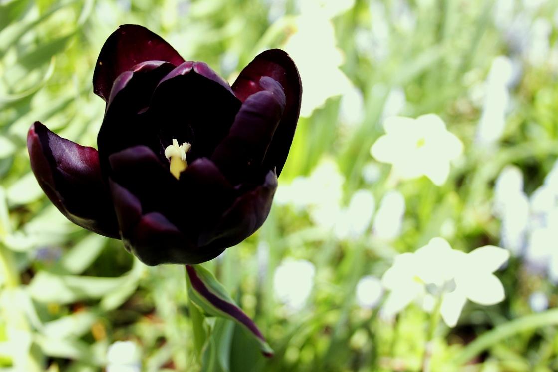 Keukenhof – największy ogród tulipanów świata