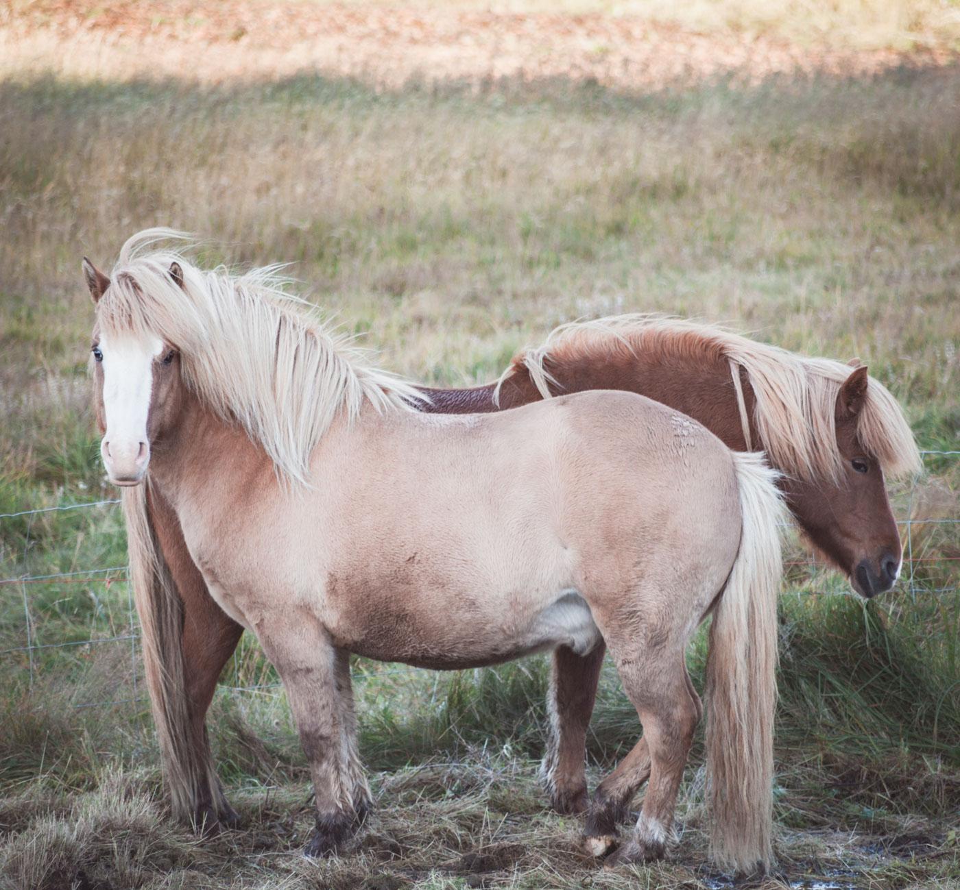 Islandia, konie islandzkie