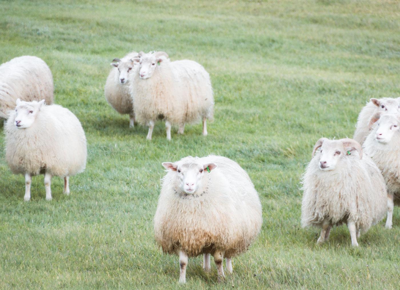 Islandia owce