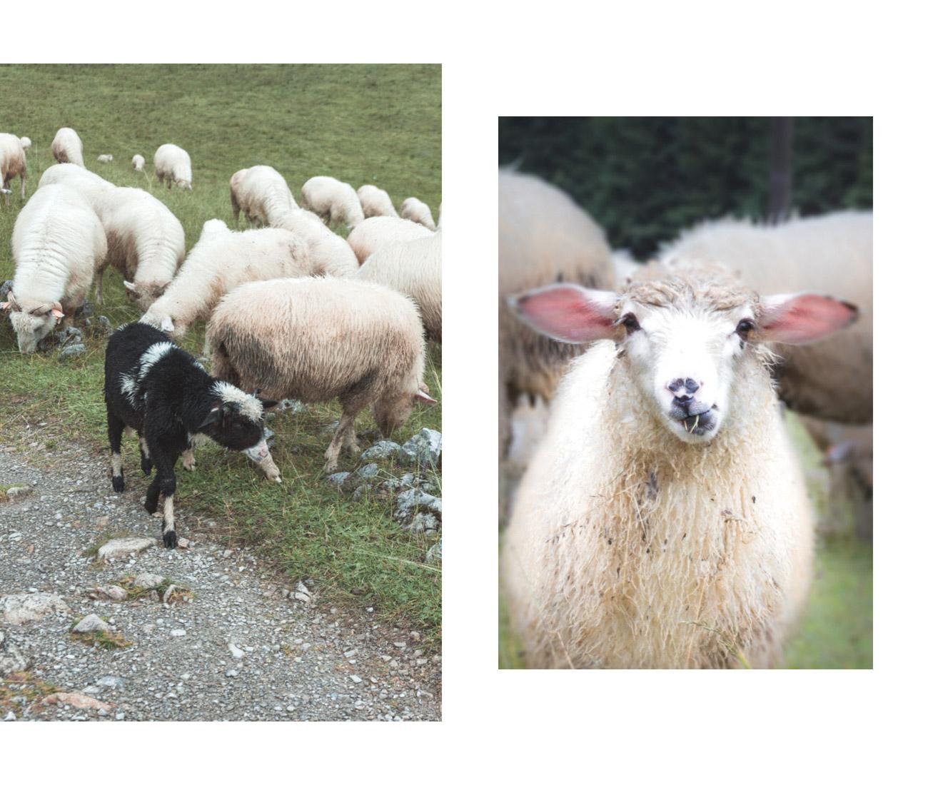 Polana Kalatówki owce