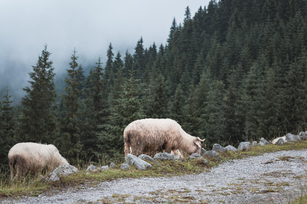 owce na Polanie Kalatówki