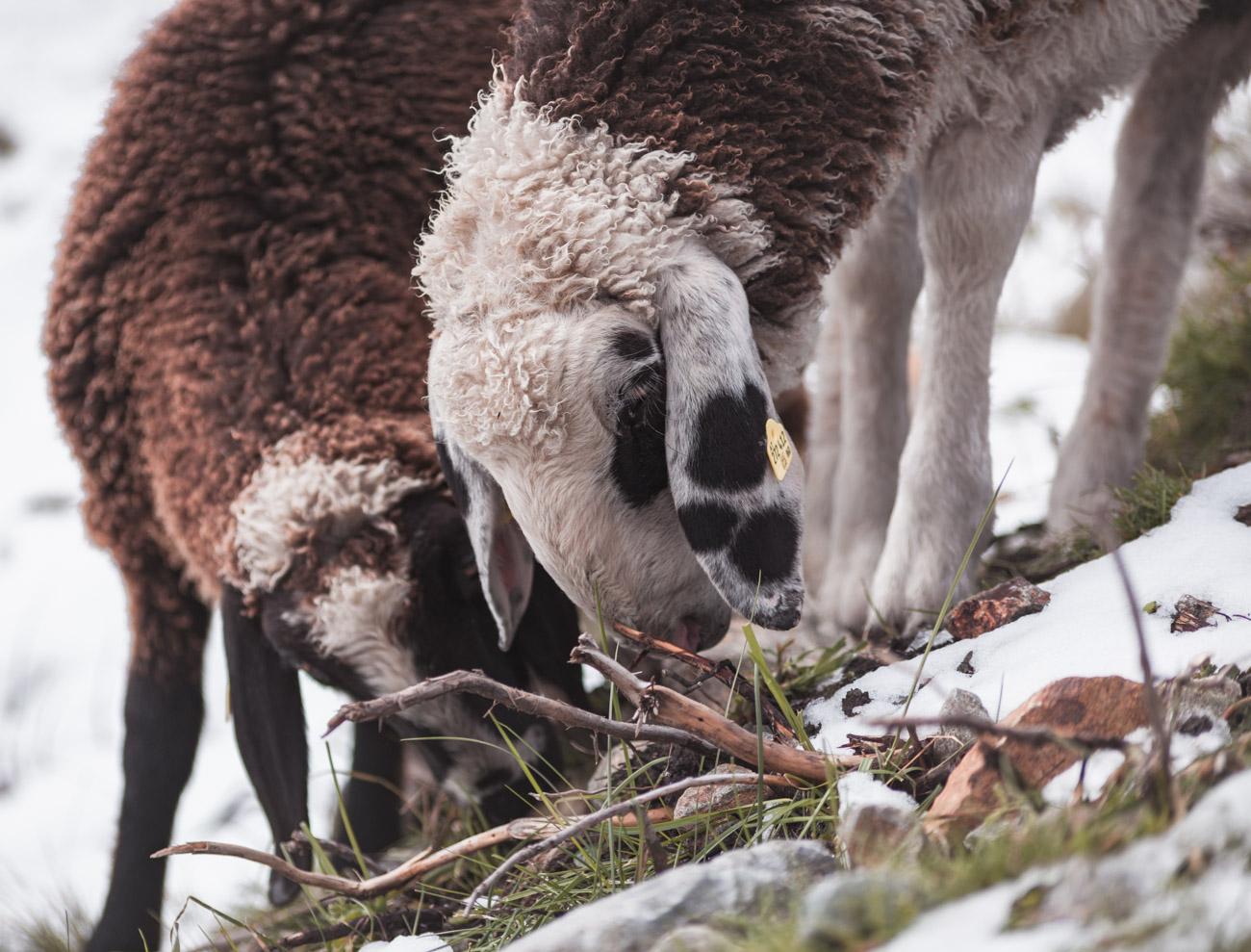 Dresdner Huette owce