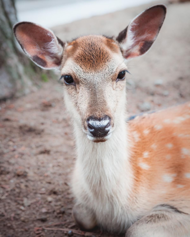Nara Japonia jelenie