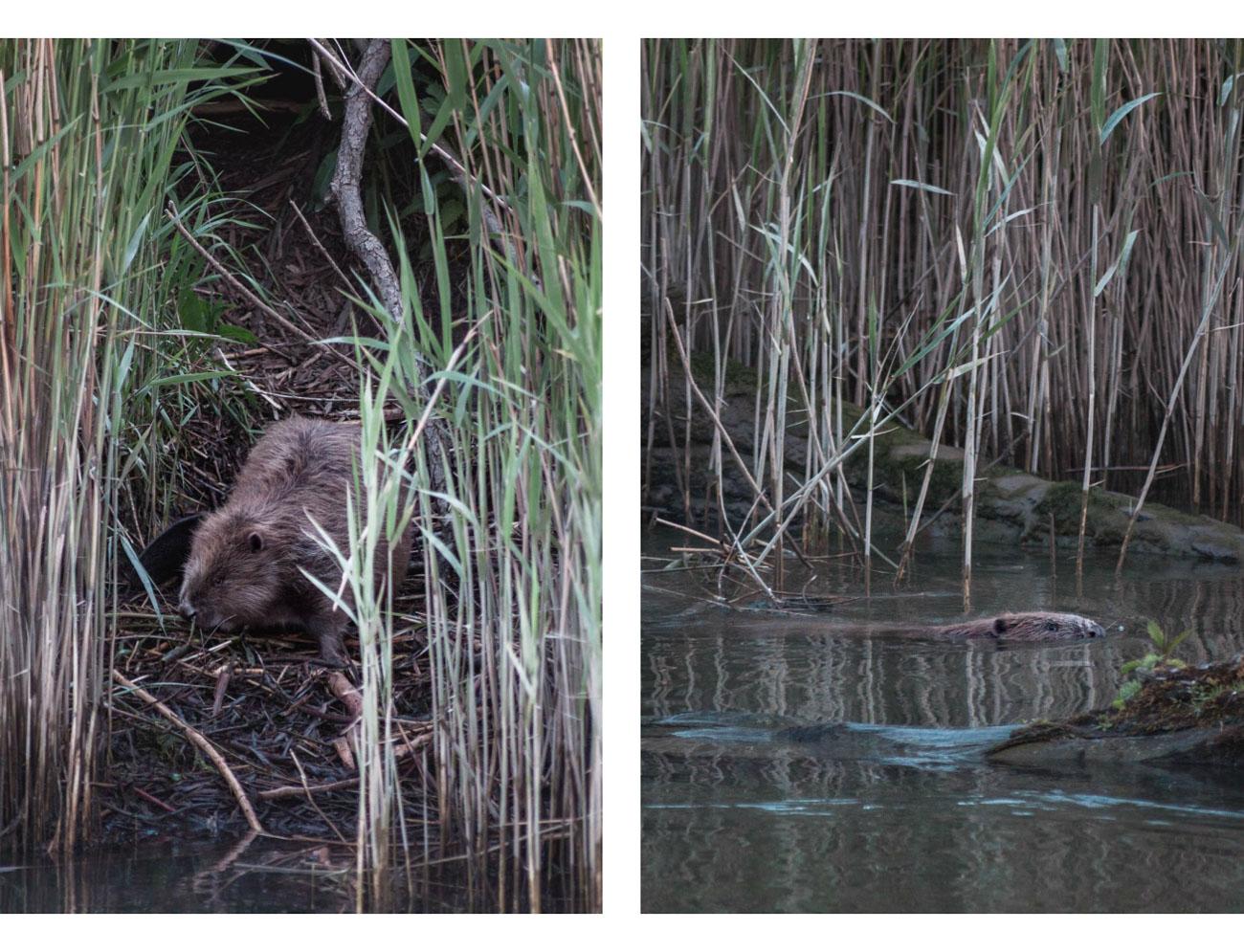 bobry safari park narodowy biesbosch holandia