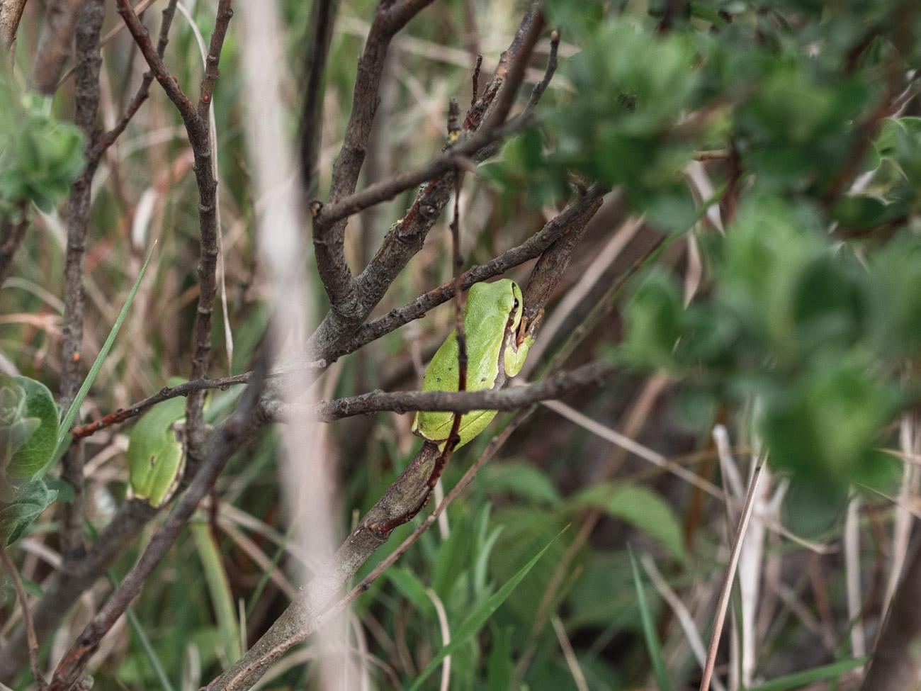 rzekotka drzewna holandia parki narodowe