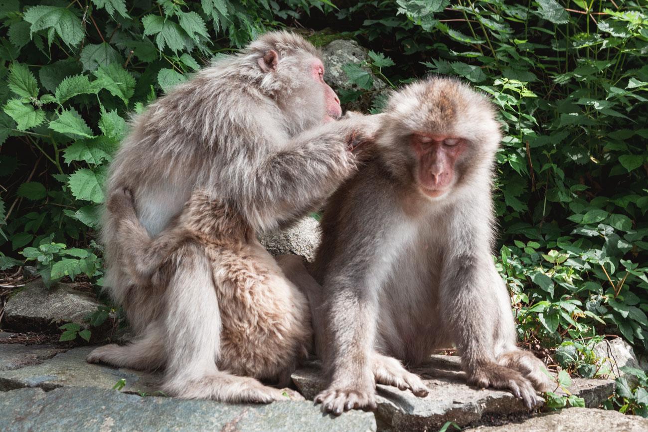 jigokudani japonia makaki gorące źródła