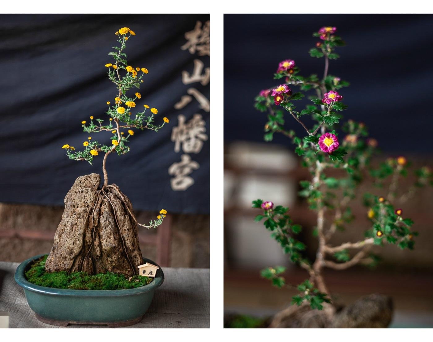 chryzantemy bonsai